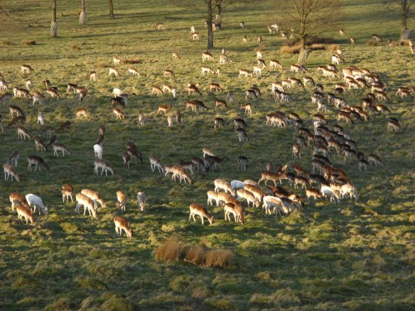 Fallow deer thrive around Labod, Hungary